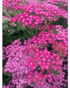 Achillea millefolium  ´Pink Grapefruit´