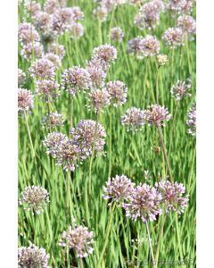 Allium senescens ´Pink Planet´