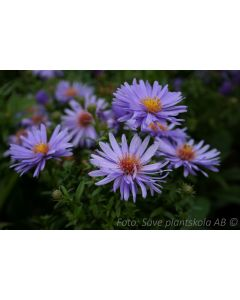 Aster (Symph.) dumosus  ´Early Blue´