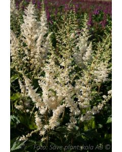 Astilbe chinensis  ´Vision in White´