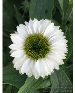 Echinacea  ´SunSeekers White Perfection´