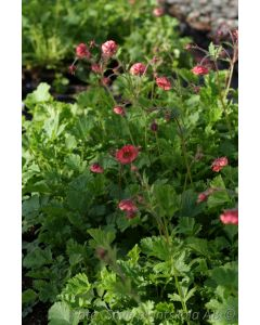 Geum  ´Flames of Passion´ (PBR)´
