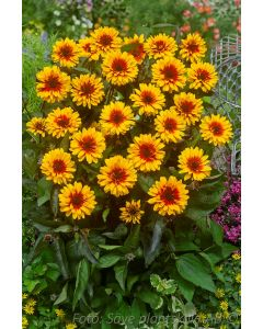 Heliopsis helianthoides ´Funky Spinner´