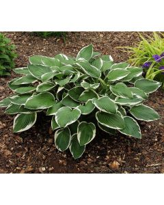Hosta fortunei  ´Francee´