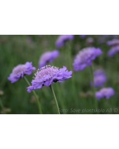 Scabiosa columbaria  ´Butterfly Blue´