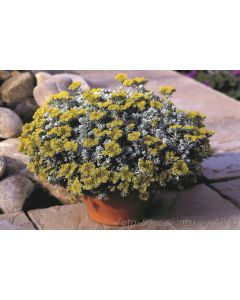 Sedum  spathulifolium  ´Cape Blanco´