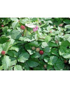 Rubus stellarticus  ´Valentina´