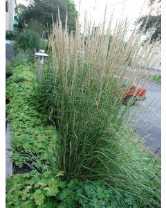 Calamagrostis acutiflora  ´Karl Foerster´ 5 L