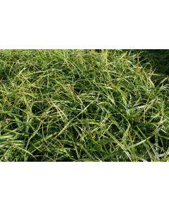 Carex caryophyllea  ´The Beatles´